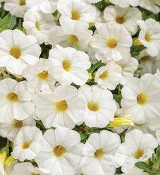 Superbells® Compact White - Calibrachoa hybrid