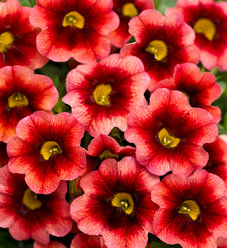 Superbells® Coralberry Punch™ - Calibrachoa hybrid