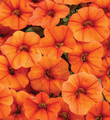 Superbells® Dreamsicle® - Calibrachoa hybrid