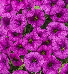 Superbells Garden® Rose - Calibrachoa hybrid