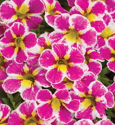 Superbells® Holy Cow!™ - Calibrachoa hybrid