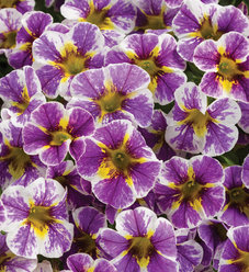 Superbells® Holy Smokes!™ - Calibrachoa hybrid