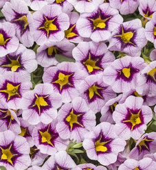 Superbells® Morning Star™ - Calibrachoa hybrid