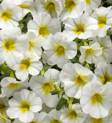Superbells® Over Easy™ - Calibrachoa hybrid