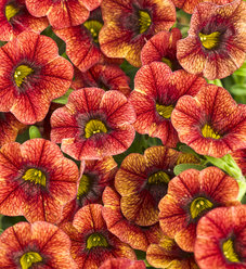 Superbells® Spicy - Calibrachoa hybrid
