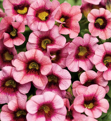 Superbells® Strawberry Punch™ - Calibrachoa hybrid