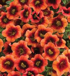 Superbells® Tangerine Punch™ - Calibrachoa hybrid
