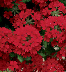 Superbena Royale® Red - Verbena hybrid