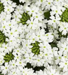 Superbena Royale® Whitecap - Verbena hybrid