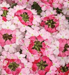 Superbena Sparkling® Rosé - Verbena hybrid