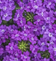 Superbena® Violet Ice - Verbena hybrid