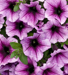 Supertunia® Bordeaux™ - Petunia hybrid