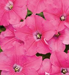 Supertunia® Giant Pink - Petunia hybrid