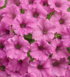 Supertunia® Hot Pink Charm - Petunia hybrid