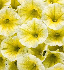 Supertunia® Limoncello® - Petunia hybrid
