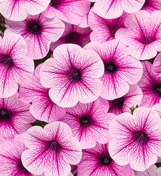 Supertunia® Trailing (Formerly Mini) Rose Veined - Petunia hybrid