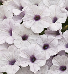 Supertunia® Trailing (Formerly Mini) Silver - Petunia hybrid