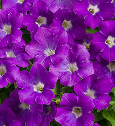Supertunia® Morning Glory Charm - Petunia hybrid