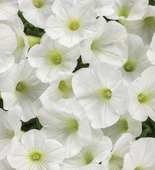 Supertunia® White Charm - Petunia hybrid