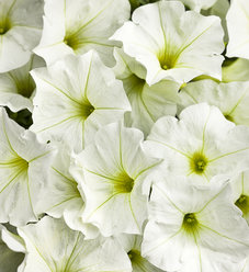 Supertunia® White - Petunia hybrid