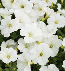 Supertunia® Trailing (Formerly Mini) White - Petunia hybrid