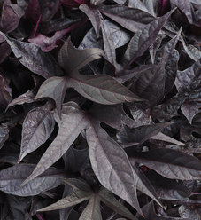 Sweet Caroline Raven™ - Ornamental Sweet Potato Vine - Ipomoea batatas