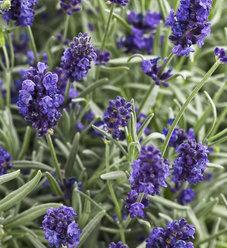 Sweet Romance® - Lavender - Lavandula angustifolia