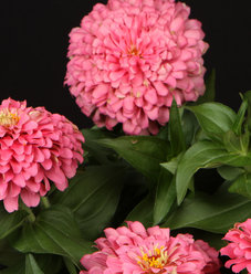 Sweet Tooth Cotton Candy - Zinnia hybrid