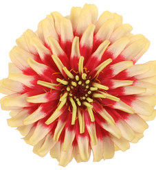 Sweet Tooth Candy Cane - Zinnia