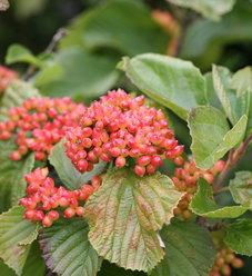 Tandoori Orange® - Linden viburnum - Viburnum dilatatum