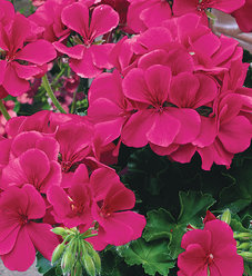 Timeless™ Rose - Geranium - Pelargonium hybrid
