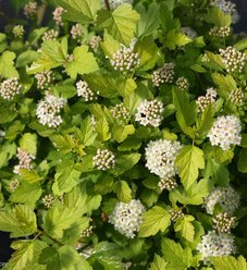 Tiny Wine® Gold - Ninebark - Physocarpus opulifolius