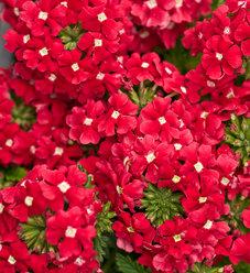 Tukana® Scarlet Star - Verbena hybrid