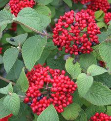 Red Balloon® - Viburnum x rhytidophylloides