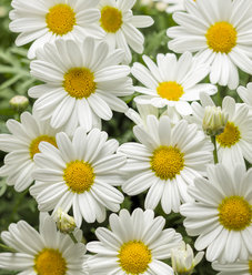 Pure White Butterfly® - Marguerite Daisy - Argyranthemum frutescens