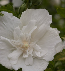 White Chiffon® - Rose of Sharon - Hibiscus syriacus