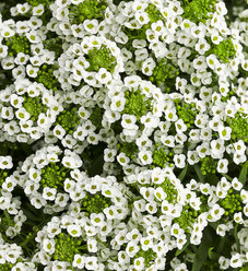 White Knight® - Sweet Alyssum - Lobularia hybrid