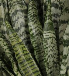 Zeylanica - Snake Plant - Sansevieria species