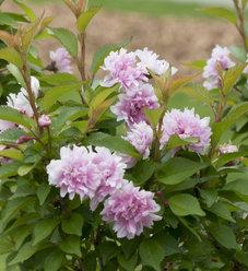 Zuzu® - Ornamental Cherry - Prunus incisa