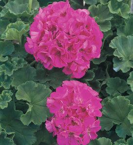 Daredevil® Rosita - Zonal Geranium - Pelargonium zonale