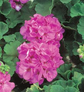 Daredevil® Orchid - Zonal Geranium - Pelargonium zonale