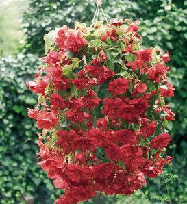Illumination® Scarlet - Tuberous Begonia - Begonia x tuberhybrida