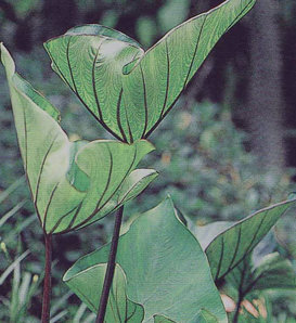 Coffee Cups - Elephant's Ear - Colocasia esculenta