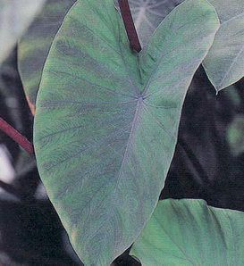 Heart of the Jungle™ - Elephant's Ear - Colocasia esculenta