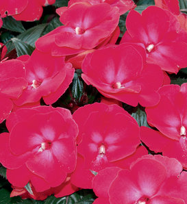 Infinity® Cherry Red - New Guinea Impatiens - Impatiens hawkeri