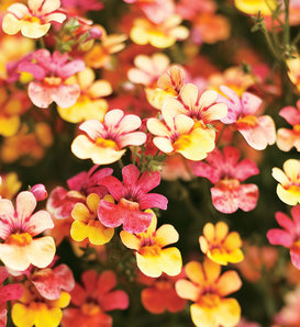 Juicy Fruits® Kumquat - Nemesia hybrid