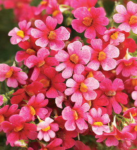 Juicy Fruits® Watermelon - Nemesia hybrid