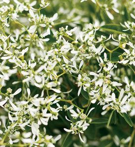 Diamond Frost® - Euphorbia hybrid