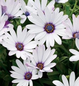 Soprano® White - Osteospermum hybrid