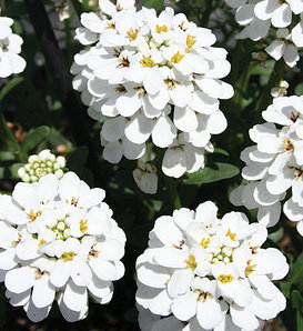 Snowball™ - Evergreen Candytuft - Iberis hybrid